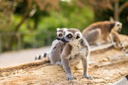 Funny Ring-tailed lemur family.