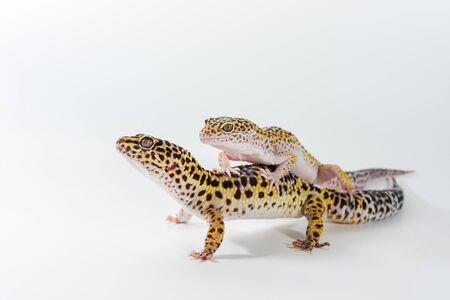 Two cute leopard gecko (Eublepharis Macularius) on a white background. Stock fotó