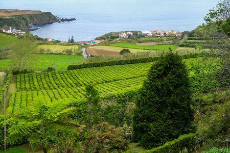 Tea plantation in Porto Formoso on the north coast of the island of Sao Miguel in Azores.