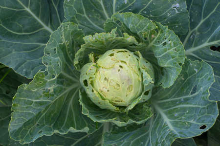 Cabbage eaten insects and pests on an agricultural field.