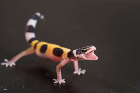 A cute leopard gecko stands in a defensive posture. Little lizard (Eublepharis Macularius).