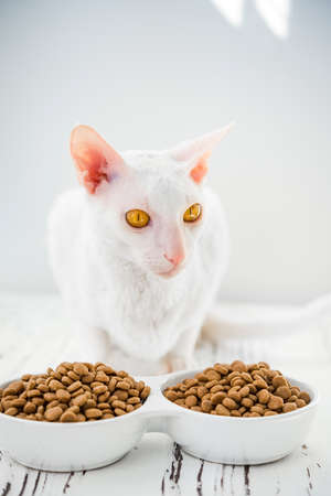 A beautiful white cat sitting next to a bowl of food to eat. Pictures of Cornish Rex with amber eyes.