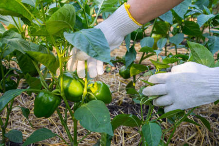 Hands of woman in gloves is show a green pepper (paprika) on the garden background. The concept agriculture of growing vegetables.