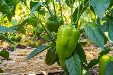 Green sweet bell peppers (paprika) growing in a field.