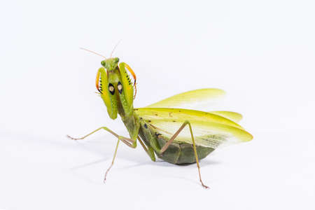 Praying mantis on a white background in a defensive pose.