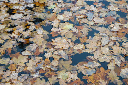 Oak leaves in the water. Autumn landscape background.
