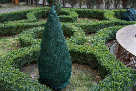 Shrubs protection from frost in winter in a beautiful boxwood garden. 스톡 콘텐츠