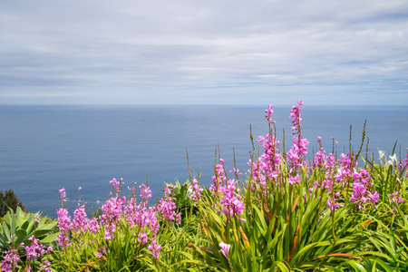 Pink flowers to background the ocean from a cliff in the city of Nordeste, Azores, Portugal Banco de Imagens