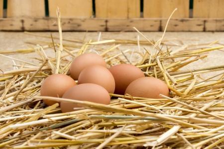 brown eggs at hay nest in chicken farm photo
