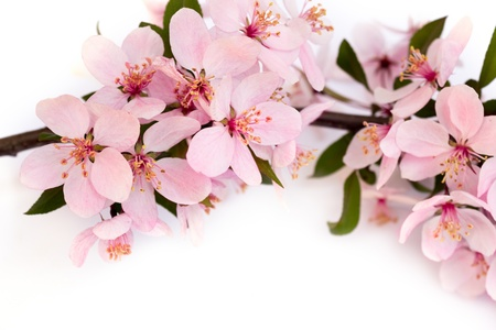 branch with pink cherry blossoms Stock Photo