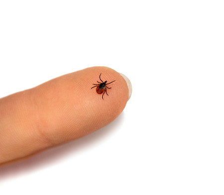 Tick crawling on human finger, isolated over white