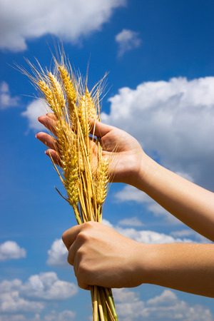 Hands with ear of wheat over blue sky