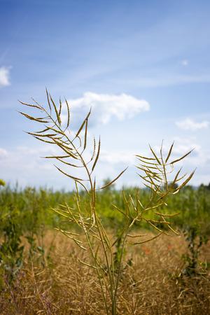 colza madura en un campo de primer plano, Brassica napus Foto de archivo