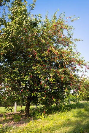 Ripening cherries on tree at orchard photo
