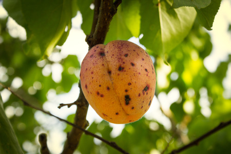 corrupt peach with stains caused by spraying chemical substances hanging on tree Stock Photo