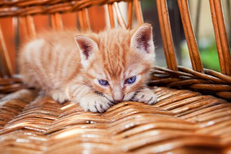 pussy: Adorable little kitten resting in a basket