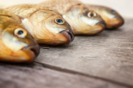 carassius gibelio: Several fresh hooked carp lying on the table