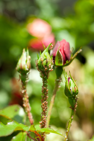 animal viviparous: Colony of aphids on a rose bud