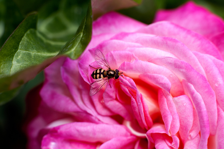 bee on flower: Bee on pink blooming rose