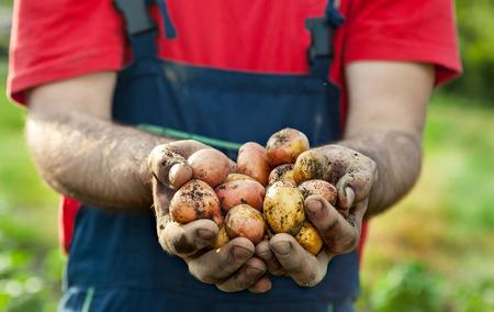 monoculture: Fresh picked potato in hands of gardener.Potato harvest in garden.