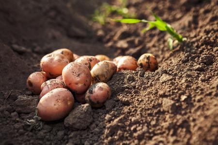 monoculture: Picked potato on lying on garden ground