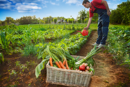 Stack with fresh vegetables and gardener watering garden the background