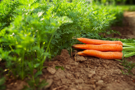 Fresh carrots on the ground in the garden