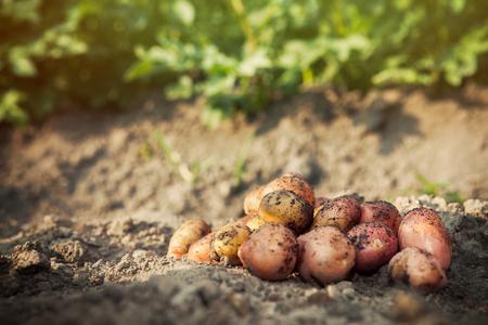 monoculture: Raw fresh potato on ground background. Potato harvest in garden.