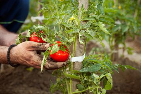Farmer holding fresh tomato in his hand
