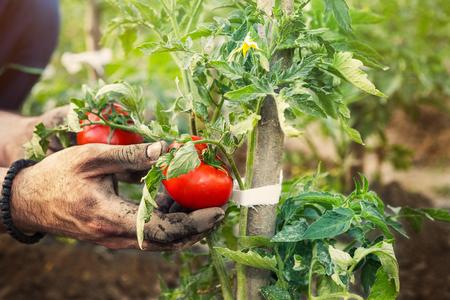 Farmer hands holding fresh tomato picked from garden Stock Photo