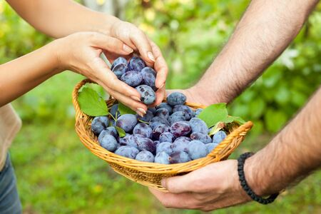 Woman hands putting plums into the basket Stock Photo