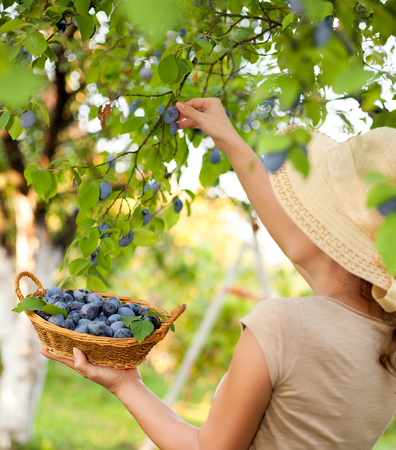 Woman farmer picking fruits from the tree Stock Photo