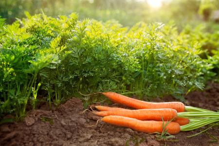 Carrots on garden ground.Carrot harvest season in the garden. Stock Photo