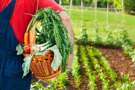 Gardener carrying basket with organic vegetables in the garden