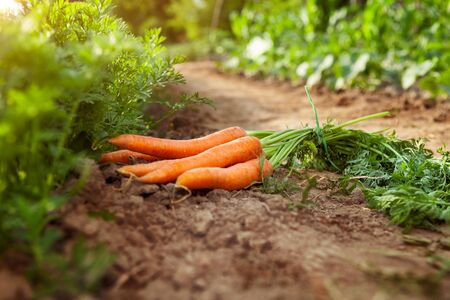 Carrots picking in garden.Carrots on garden ground.