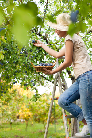 Woman reaching to pick plums and put them into the basket