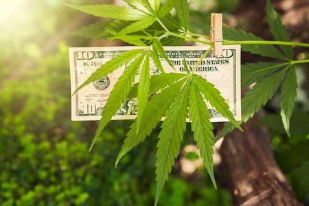 Marijuana leaf with hanged dollar bills on a branch