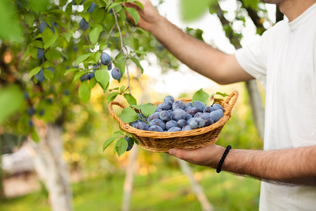 Man picking plums from the tree into the basket