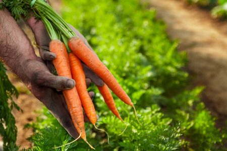 Raw carrots picked from garden in hands Stock Photo