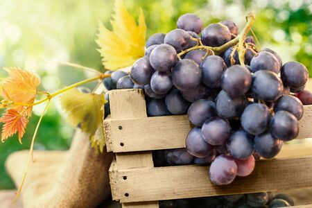 Bunch of ripe dark grapes with leaves Standard-Bild