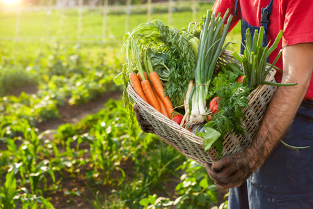 Organic vegetables in basket.Farmer holding basket with organic vegetables. Standard-Bild