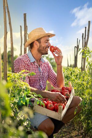 Farmer smelling fresh harvesting tomato in his organic farm. Organic is the best