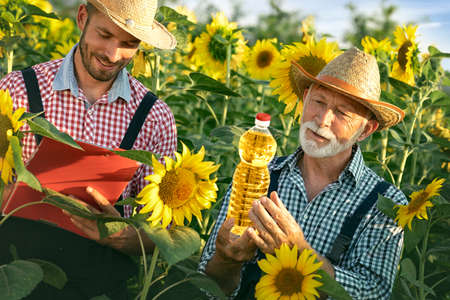 Agricultural business concept. Farmers in sunflowers field quality control. Product quality depends on crop quality Foto de archivo