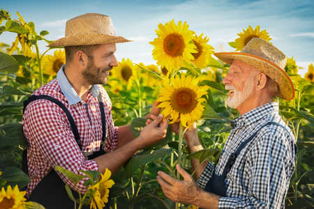 Two farmers examining crop of sunflowers in field, organic agricultural field