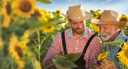 Senior and young farmers together examining crop of sunflowers in field, cooperation and experience in the field of agriculture