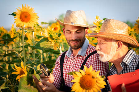Farmers are checking the sunflower in the field by using a magnifying glass to detect diseases or pests.