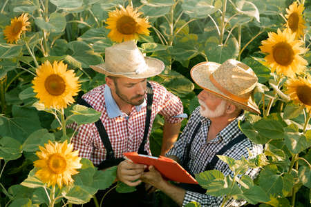Senior  farmer explains to his younger colleague his notes on the state of the sunflower plant Foto de archivo