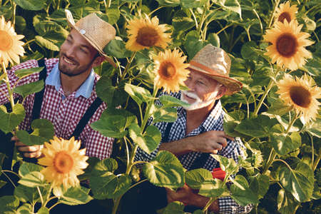 Senior farmer and young farmer working together in colorful sunflower field