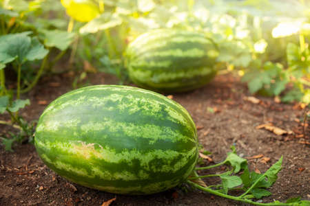 Close-up of watermelons growing on land