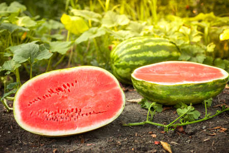 Watermelons and halves watermelons on agricultural land over summer day Foto de archivo